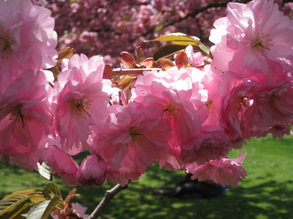 Cherry Blossoms at Brooklyn Botanic Garden, NY, USA