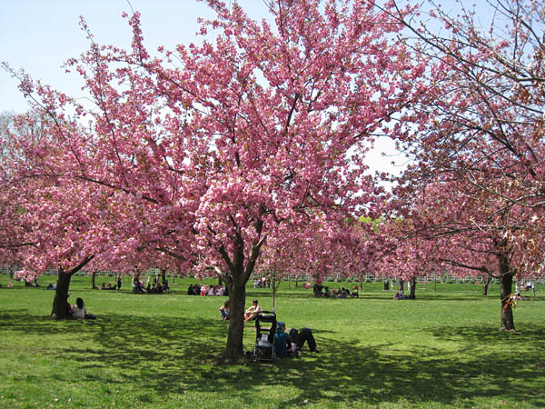 Cherry Trees at Brooklyn Botanic Garden, New York, USA