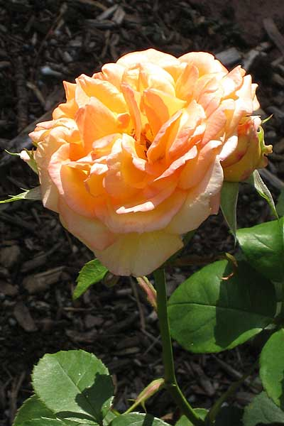 Rose at Frelinghuysen Arboretum, Whippany, New Jersey, USA