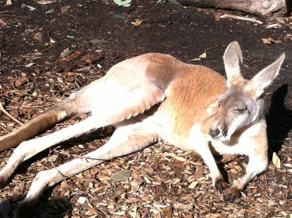 Lounging Kangaroo at Taronga Zoo in Sydney, New South Wales, Australia
