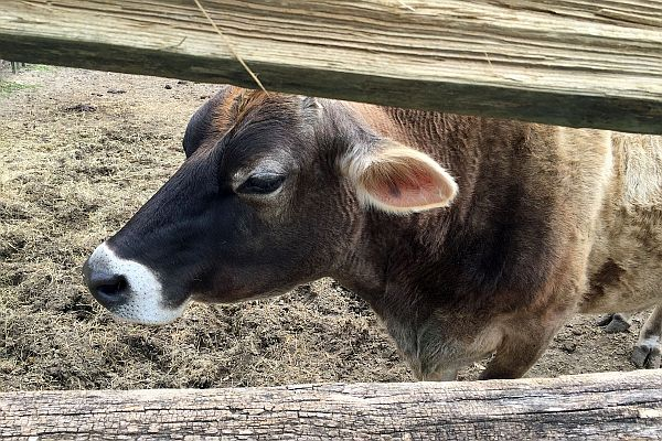 Lily the cow at Middleton Place in Charleston, South Carolina, USA